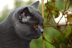 Antonio (Сonstantine) Tags: animals antonio catslife catsoftheworld catscatscats cute cats britishcats british bokeh meowmeow meow meowbox photo pic portrait