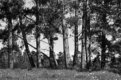 Pine Line _ bw (Joe Josephs: 3,166,284 views - thank you) Tags: california landscapephotography travel travelphotography westcoast fiscaliniranchpreseerve forest trees woods field outdoors day nopeople bw blackandwhite monochrome