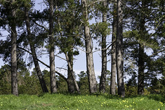 Pine Line (Joe Josephs: 3,166,284 views - thank you) Tags: california landscapephotography travel travelphotography westcoast fiscaliniranchpreseerve forest trees woods field outdoors day nopeople