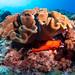 Strawberry under mushroom coral #marineexplorer