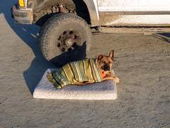 Frosty dog (simonov) Tags: bella dog hund chien 狗 σκύλοσ madra cane 犬 perro 개 سگ собака الكلب germansheprador cold blanket blackrockdesert playa car camping