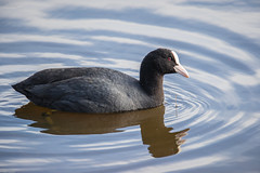 Photo of Coot