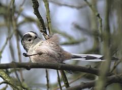 Long tailed tit 2 18 Feb 2020 (Tim Harris1) Tags: nikond7100 nikkor80400afs sculthorpemoor norfolk bird longtailedtit