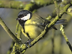 Great tit 1 18 Feb 2020 (Tim Harris1) Tags: nikond7100 nikkor80400afs sculthorpemoor norfolk bird greattit