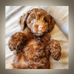 They call it Puppy Love 7/52 (rmrayner) Tags: theycallitpuppylove 752 puppy cockerpoo dog fluffy 52weeksthe2020edition love ewok