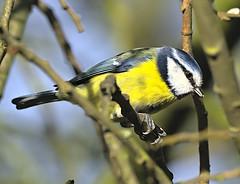 Blue tit 2 18 Feb 2020 (Tim Harris1) Tags: nikond7100 nikkor80400afs sculthorpemoor norfolk bird bluetit