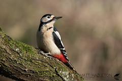 Great spotted woodpecker (Matt Hazleton) Tags: greatspottedwoodpecker woodpecker animal nature outdoor bird wildlife canon canoneos7dmk2 eos 7dmk2 canon100400mm 100400mm matthazleton matthazphoto dendrocoposmajor