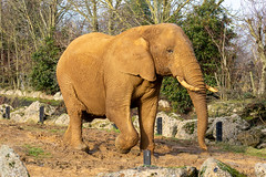 African Elephant - Colchester Zoo (stu norris) Tags: african elephant colchester zoo africanelephant colchesterzoo nature wildlife outside coth5