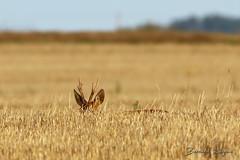 Capreolus capreolus | Chevreuil européen | Roe deer ([ ͆ ◎] Bernard LIÉGEOIS) Tags: europe europa france nouvelleaquitaine poitou poitoucharentes vienne vienne86 nature viesauvage wildlife animal animaux animals mammifère mammal mammiferes mammals
