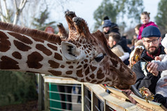 Feeding time at the Zoo (stu norris) Tags: animal nature wildlife coth5 outside outdoors giraffe colchesterzoo colchester zoo