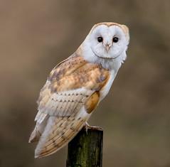 Barn Owl (Lutra77) Tags: barnowl tytoalba britishbirds nature wildlifephotography birdsofprey naturephotography wildlife owls holkham norfolk