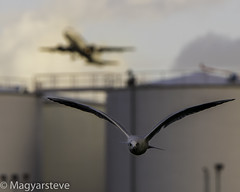 Flight (MagyarSteve) Tags: flight bird wildlife plane aeroplane heathrow londonheathrow london gull seagull fly flying