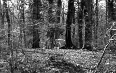 200216_Bosco_Manziana_008 (Stefano Sbaccanti) Tags: stefanosbaccanti 2020 manziana bosco macchia italia italy analogico analogue argentique bw blackandwhite bianconero blancoynegro kentmere100 spotmaticf supertakumar