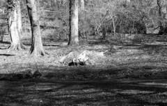 200216_Bosco_Manziana_005 (Stefano Sbaccanti) Tags: stefanosbaccanti 2020 manziana bosco macchia italia italy analogico analogue argentique bw blackandwhite bianconero blancoynegro kentmere100 spotmaticf supertakumar