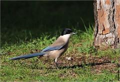 Pie bleue (boblecram) Tags: cyanopica corvidé passereau oiseau bird ornithologie ornithology wild sauvage andalousie espagne cooki