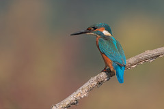 Martin pescatore (Ricky_71) Tags: commonkingfisher autumn swamp wild nikon