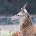 20200210 0033 Red Deer Bradgate Park Leicestershire-2