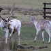 20200210 0025 White Stag Fallow Deer Bradgate Park Leicestershire