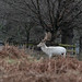 20200210 0016 White Stag Fallow Deer Bradgate Park Leicestershire