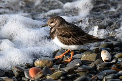 Turnstone and sea foam.. (karen leah) Tags: turnstone wader bird nature natural wildlife outdoors water closeup portrait january winter aberystwyth tanybwlch ceredigion