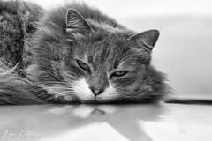Cat (MarcoPistolozzi) Tags: cat animal marcopistolozzi nature nopeople photography face phografy