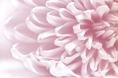 Pretty in Pink (Sue Armsby) Tags: pink prettyinpink flowers fragrant chrysanthemum pale pastel pastelshades ef100mmf28lmacroisusm light garden