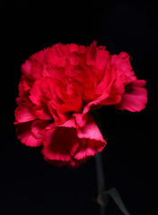 366 - Image 049 - Carnation... (Gary Neville) Tags: 366 366images 7th365 photoaday 2020 sony sonya7iii a7m3 a7iii garyneville 90mm