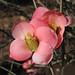 flowering quince - this week