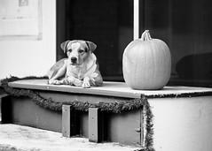 Kindred Spirits (Dysfunctional Photographer) Tags: dog canine fruit pumpkin window building monochrome blackwhite platform day cloudy pinebluff arkansas 2020 usa nikon z7 nef raw captureone urban street downtown