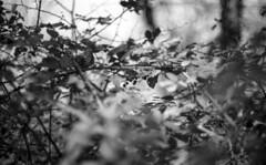 200216_Bosco_Manziana_022 (Stefano Sbaccanti) Tags: stefanosbaccanti 2020 manziana bosco macchia italia italy analogico analogue argentique bw blackandwhite bianconero blancoynegro kentmere100 spotmaticf supertakumar