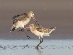 Bar-tailed Godwit (Limosa lapponica) (www.mikebarthphotography.com 2M Views thanks !) Tags: australia birds limosalapponica bartailedgodwit