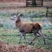 20200210 0030 Fallow Deer Red Deer Bradgate Park Leicestershire