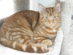 Harvey - 1 year old neutered male