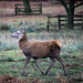 20200210 0028 Red Deer Bradgate Park Leicestershire