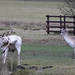 20200210 0024 White Stag Fallow Deer Bradgate Park Leicestershire