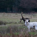 20200210 0018 White Stag Fallow Deer Bradgate Park Leicestershire