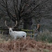 20200210 0017 White Stag Fallow Deer Bradgate Park Leicestershire