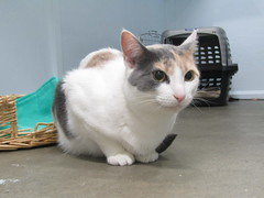 Fox - 1 year old spayed female