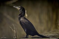 Cormorant (Scott Sanford Photography) Tags: 5dmarkiv birds canon ef100400mmf4556lisiiusm eos gulfcoast nationalwildliferefuge naturallight nature outdoor texas water wildlife