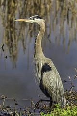 Striking (a pose) (Scott Sanford Photography) Tags: 5dmarkiv birds canon ef100400mmf4556lisiiusm eos gulfcoast nationalwildliferefuge naturallight nature outdoor texas water wildlife