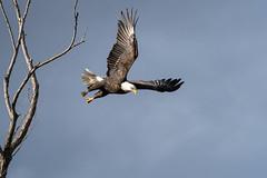 Descending (catchlightdon) Tags: ca usa treelimbs wingextension haliaeetusleucocephalus sacramentonwr baldeagle ©donhenderson adult descent