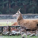 20200210 0033 Red Deer Bradgate Park Leicestershire