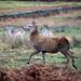 20200210 0032 Fallow Deer Red Deer Bradgate Park Leicestershire
