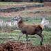 20200210 0031 Fallow Deer Red Deer Bradgate Park Leicestershire