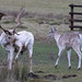 20200210 0026 White Stag Fallow Deer Bradgate Park Leicestershire