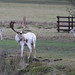 20200210 0022 White Stag Fallow Deer Bradgate Park Leicestershire