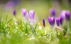 Traumhafte Blüten (KaAuenwasser) Tags: traumhafteblüten traumhaft blüten blüte licht lichtstimmung stimmung wiese garten park februar 2020 botanischergarten karlsruhe pflanzen krokusse krokus farbe rasen gras makro nah