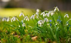 Viele Schneeglöckchen (KaAuenwasser) Tags: schneeglöckchen anzahl blumen blüten botanischergarten karlsruhe februar 2020 garten park wiese zierde pflanze pflanzen