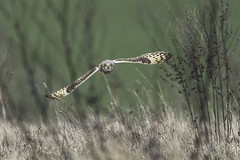 Short Eared Owl, Daventry. 18-2-2020. (Anthony P Morris) Tags: shorteared owl shrotearedowl shortearedowl daventry northamptonshire wildlife freewild rspb naturesvoice anthonymorris anthonypmorris tonymorris farmoor oxford oxfordshire bird birds wildbird boroughhill
