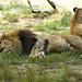 Memphis Zoo 08-29-2019 - Lion 8